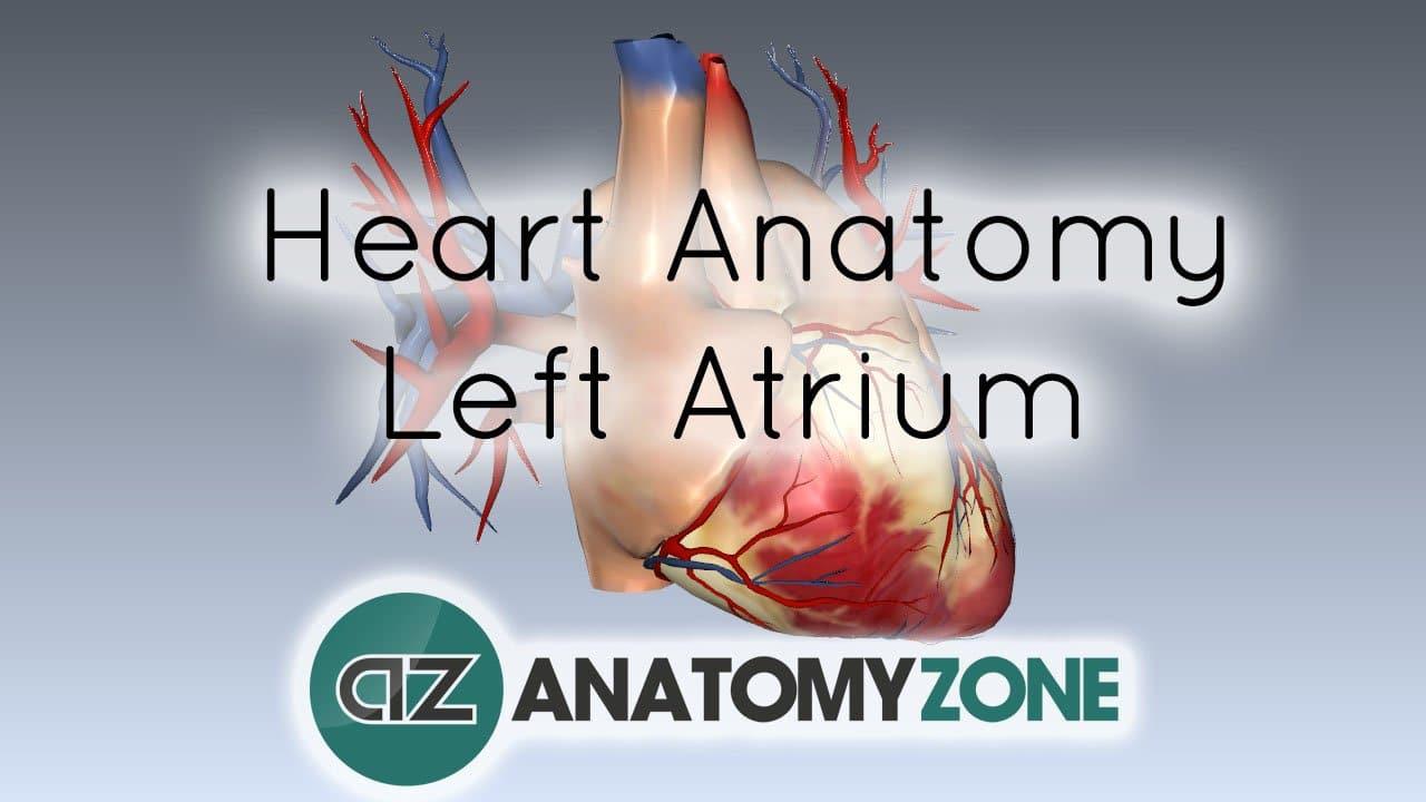 Left Atrium Anatomy