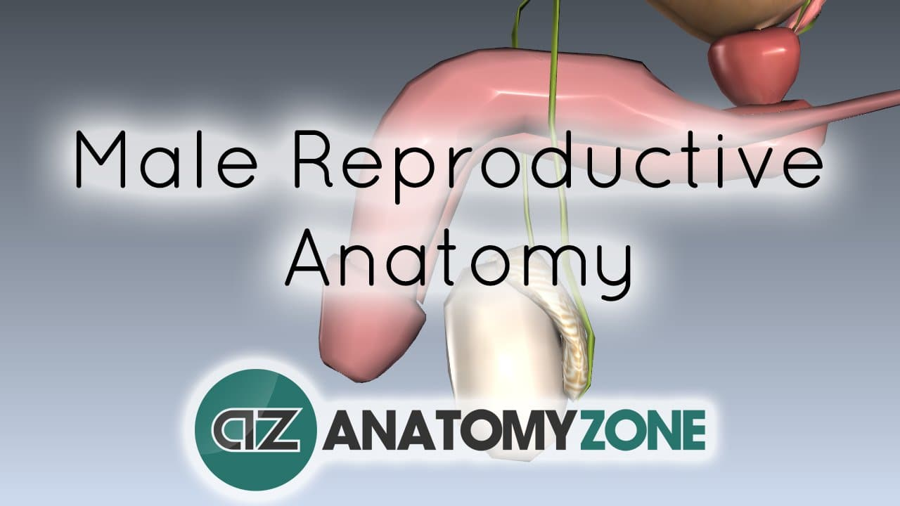 Introduction to Male Reproductive Anatomy