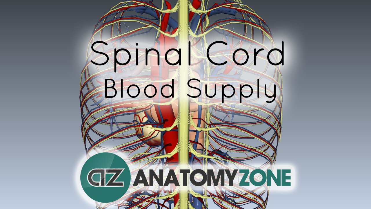 Spinal Cord Anatomy - Blood Supply