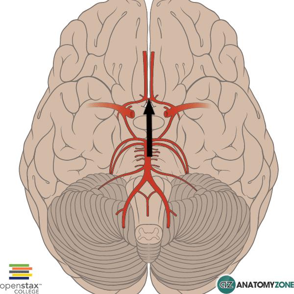Anterior Communicating Artery