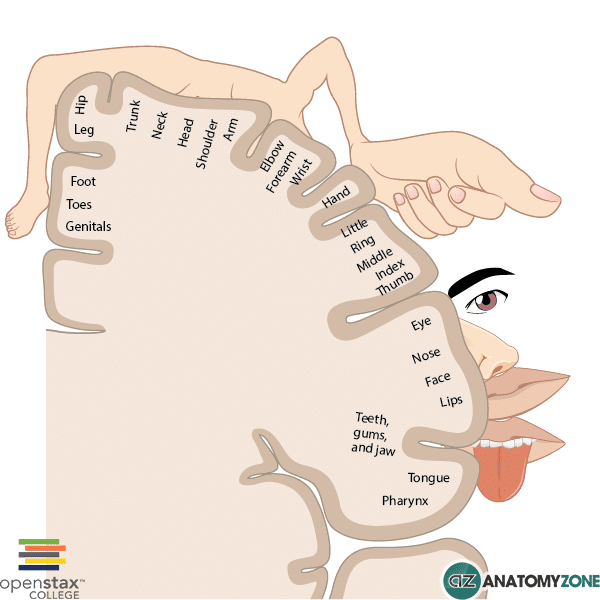Cortical Homonculus