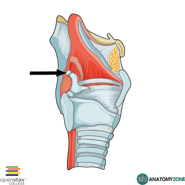 Corniculate Cartilage