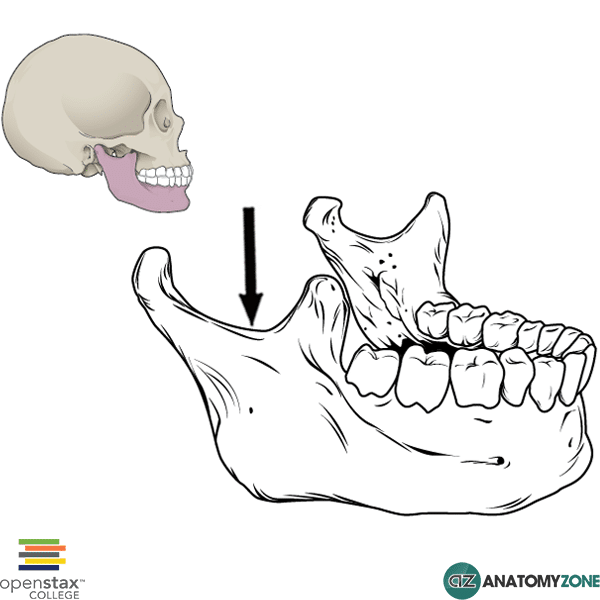 Mandibular Notch