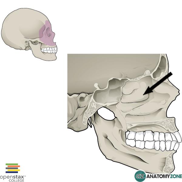 Middle Nasal Concha
