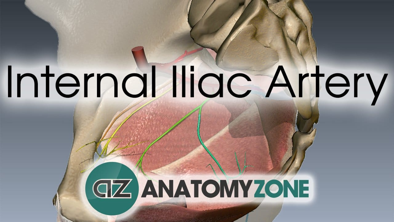 Internal Iliac Artery