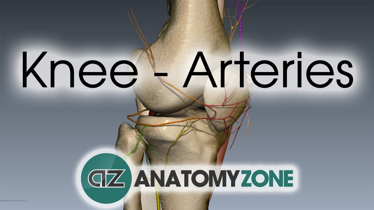 3D video anatomy tutorial on the arterial supply to the knee.