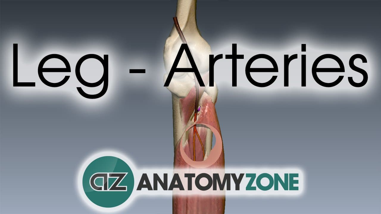 Arterial supply to the leg