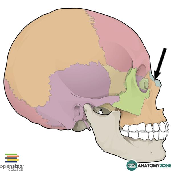 skull - nasal bone