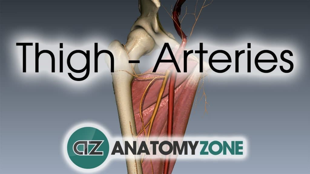 3D video anatomy tutorial on the arteries of the thigh