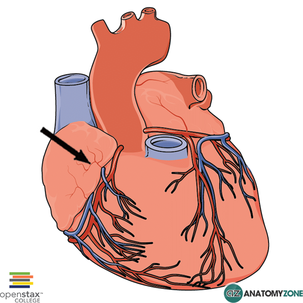 atrial arteries