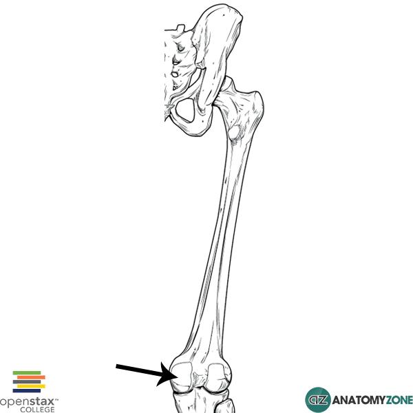 femur - medial condyle