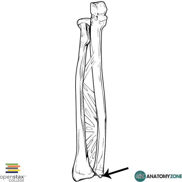 Styloid process of ulna
