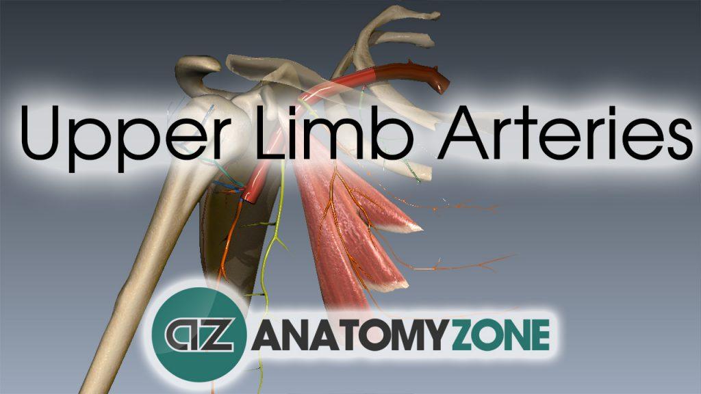Upper Limb Arteries