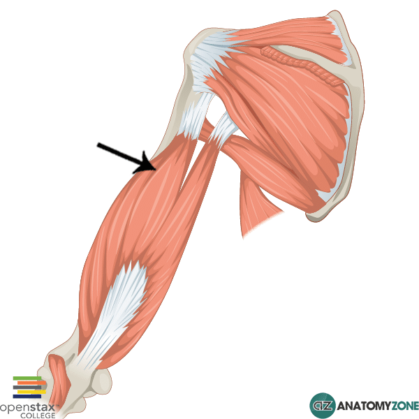 triceps brachii lateral head
