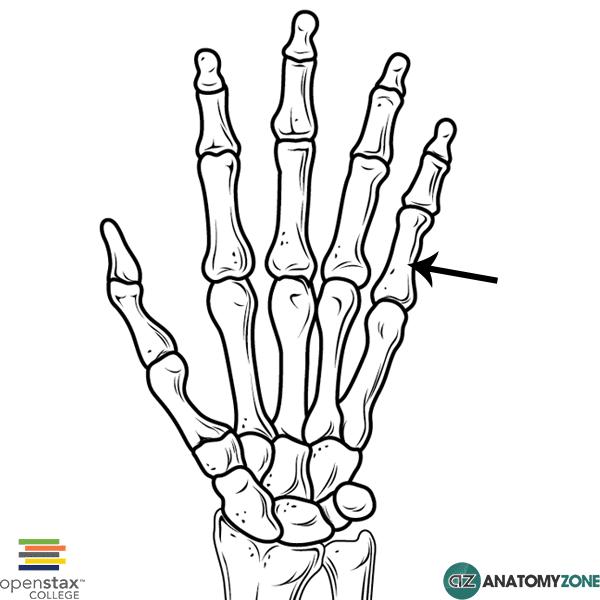 proximal phalanx of 5th finger