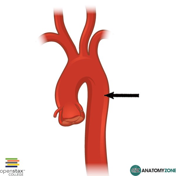 descending aorta