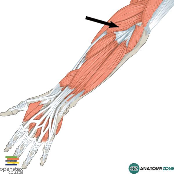 extensor carpi radalis longus