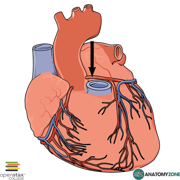 left coronary artery