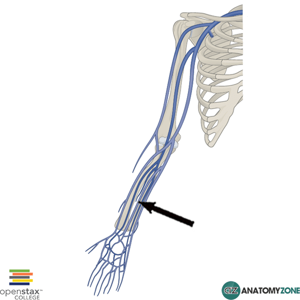 median antebrachial vein
