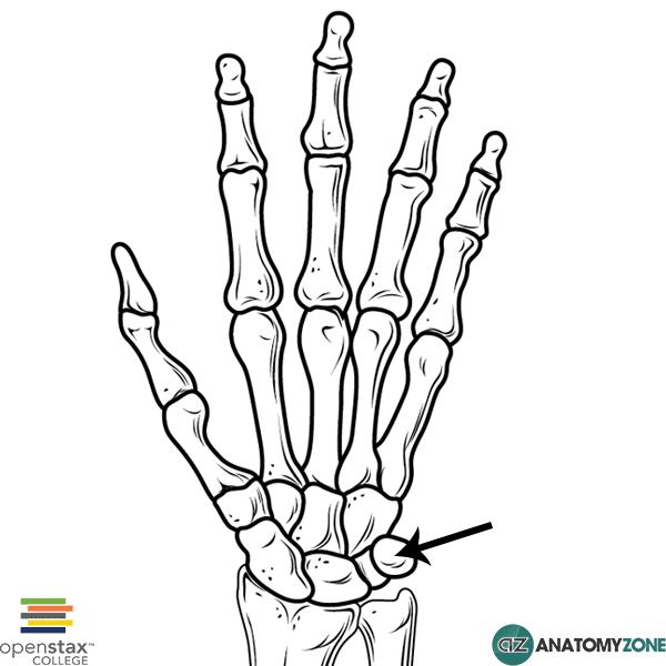 Pisiform bone