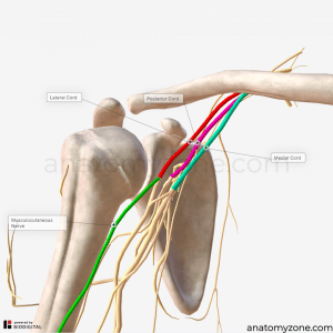 biceps brachii - innervation