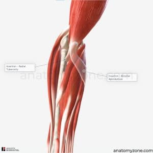 biceps brachii - insertion
