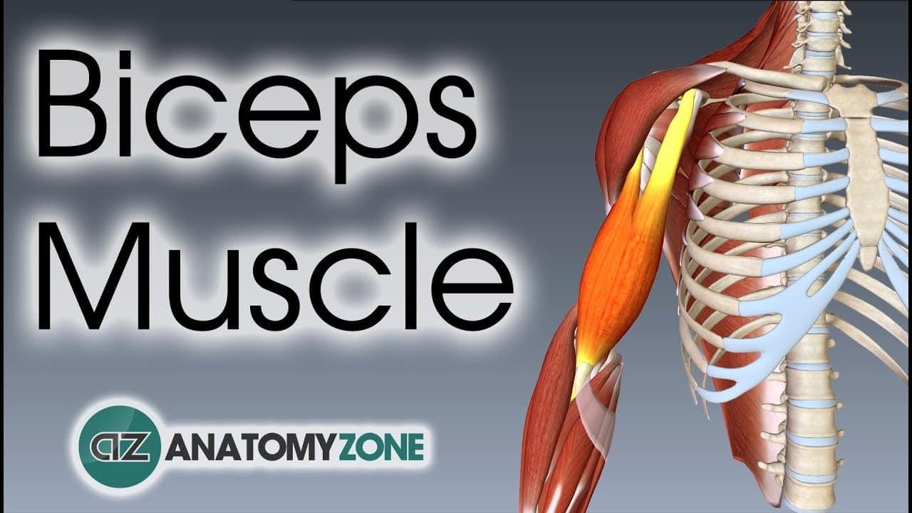 Biceps Brachii 3D anatomy