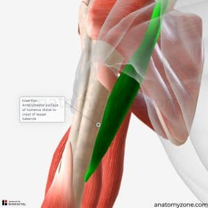 coracobrachialis - insertion