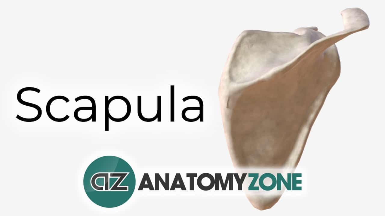 Scapula - Interactive 3D Anatomy