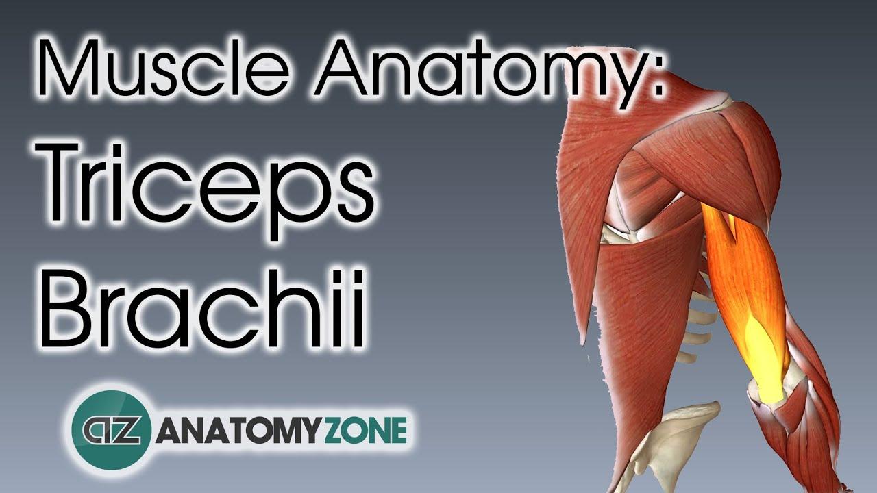 3D triceps brachii muscle anatomy