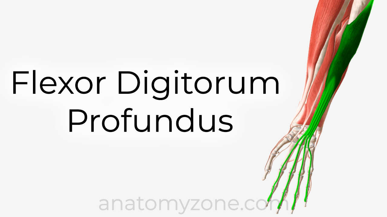 flexor digitorum profundus anatomy