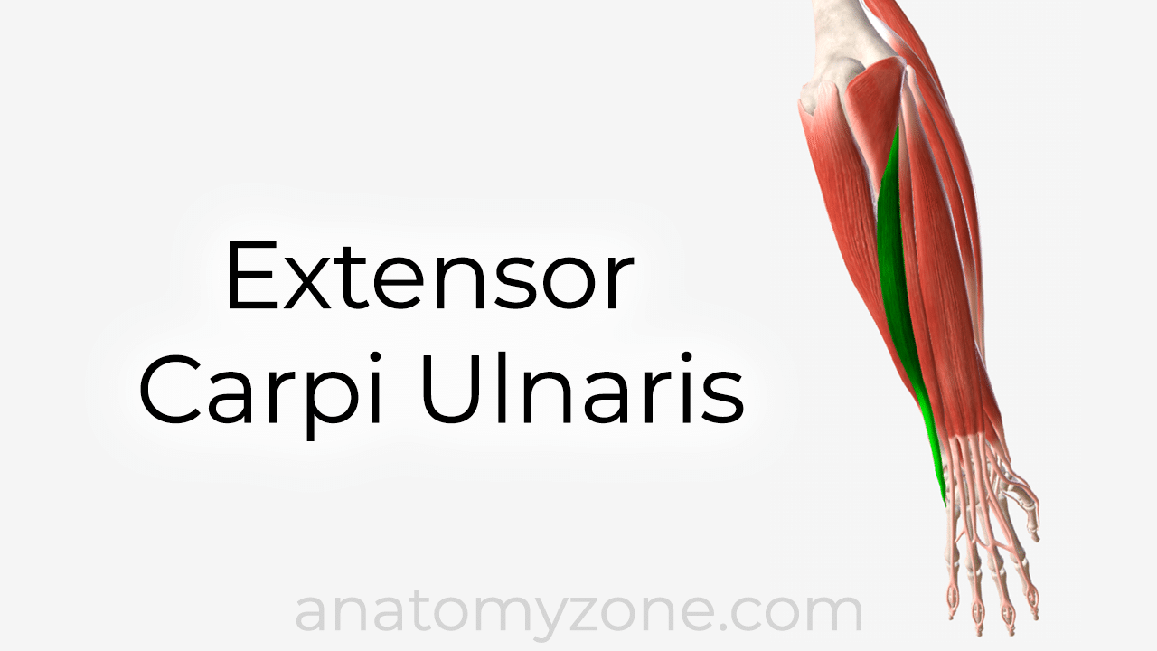 Extensor carpi ulnaris muscle anatomy and 3d model