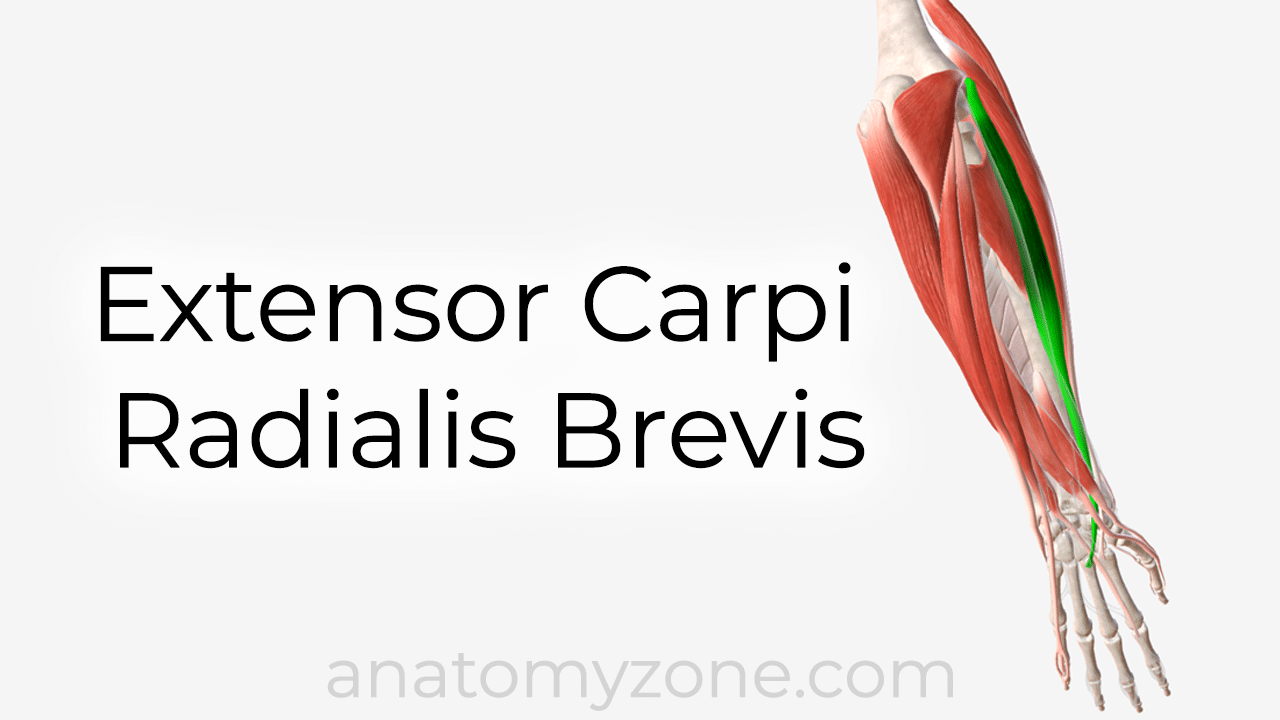 extensor carpi radialis brevis muscle anatomy and 3D model