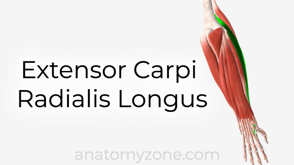 extensor carpi radialis longus muscle anatomy and 3d model