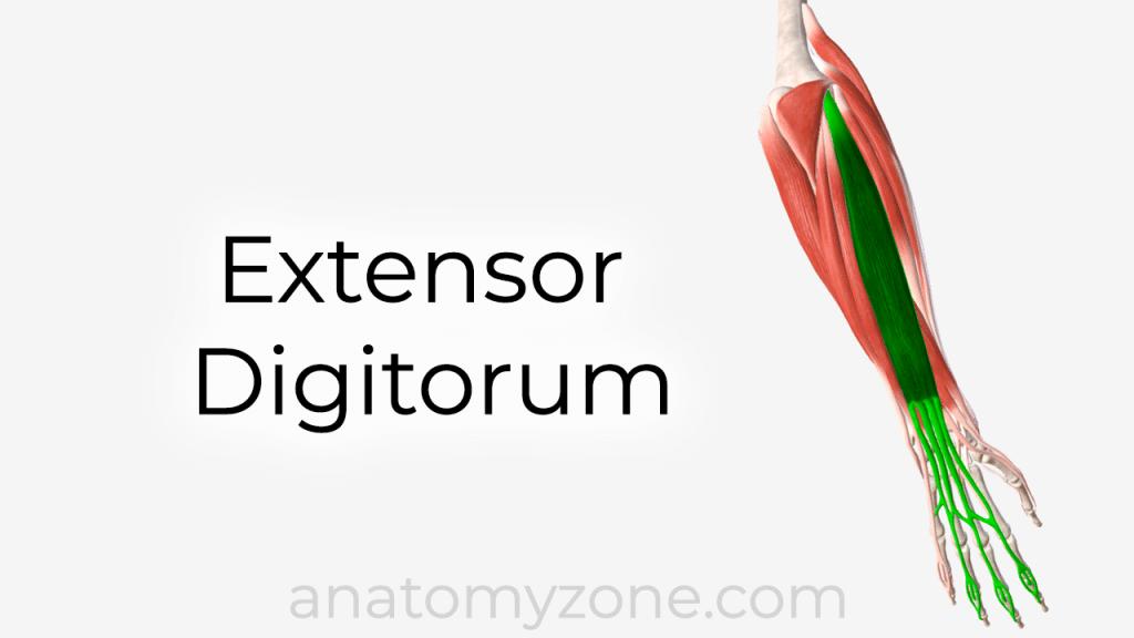 extensor digitorum anatomy and 3D model