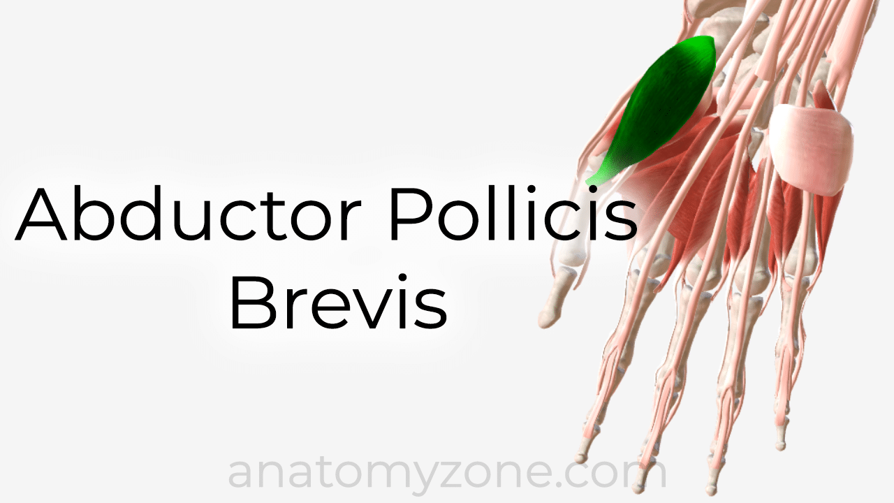 abductor pollicis brevis - 3D anatomy model and tutorial