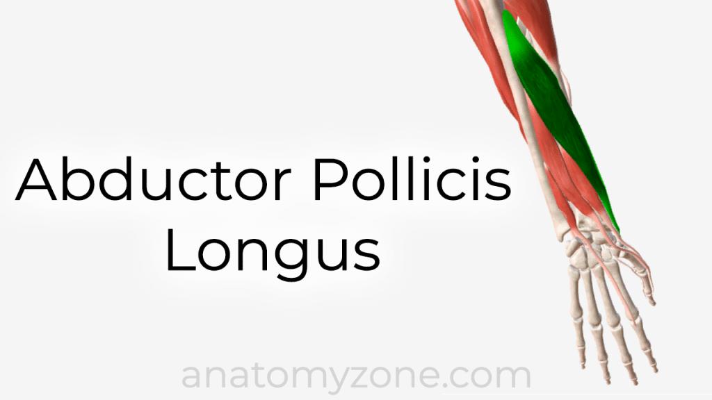 abductor pollicis longus - 3D anatomy tutorial