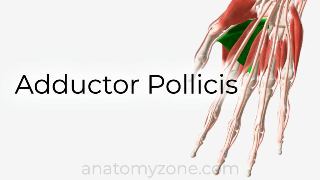 adductor pollicis - 3D anatomy