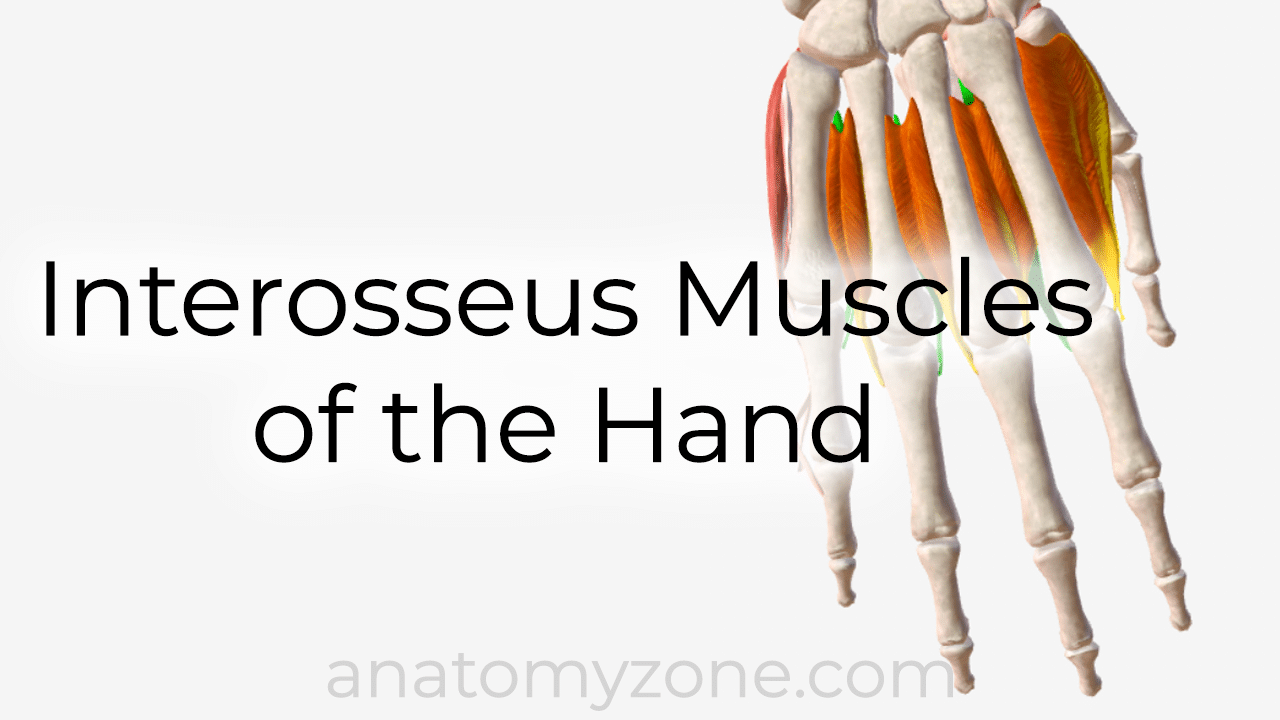interosseus muscles of the hand - 3D anatomy