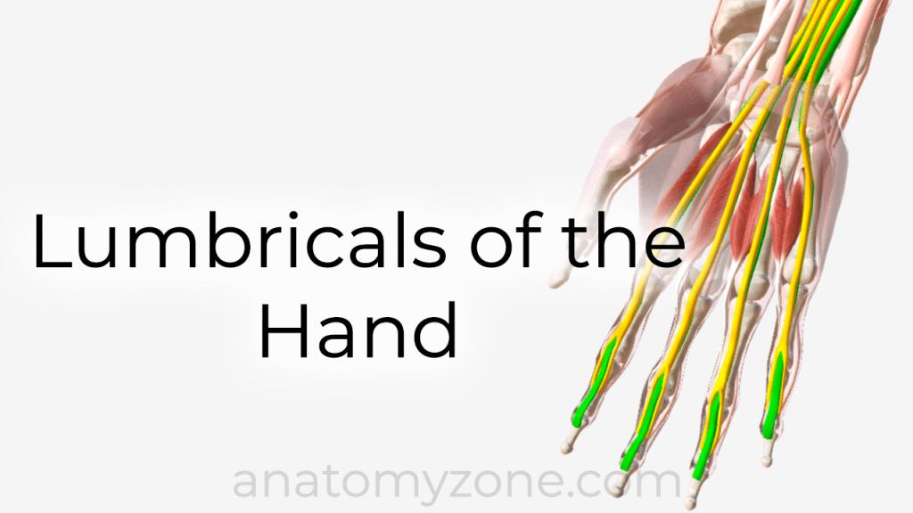 lumbricals of the hand - 3D anatomy model