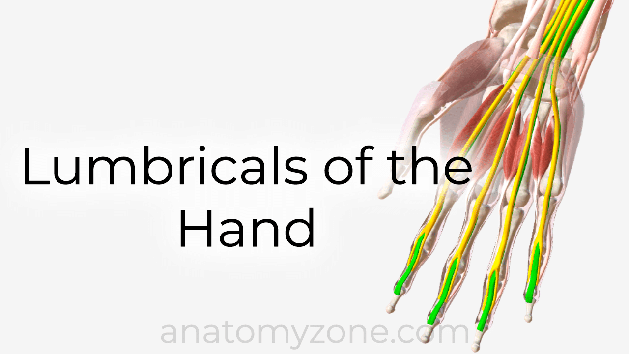 lumbricals of the hand - 3D anatomy model